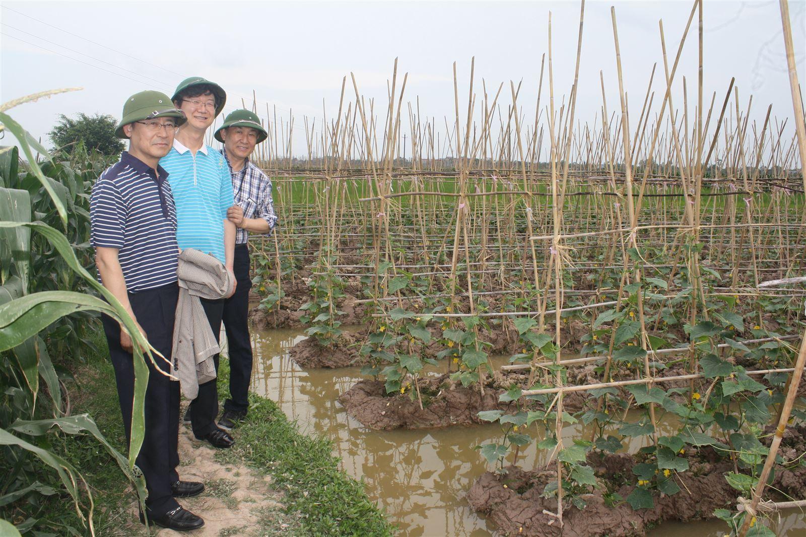 Cucumber farm